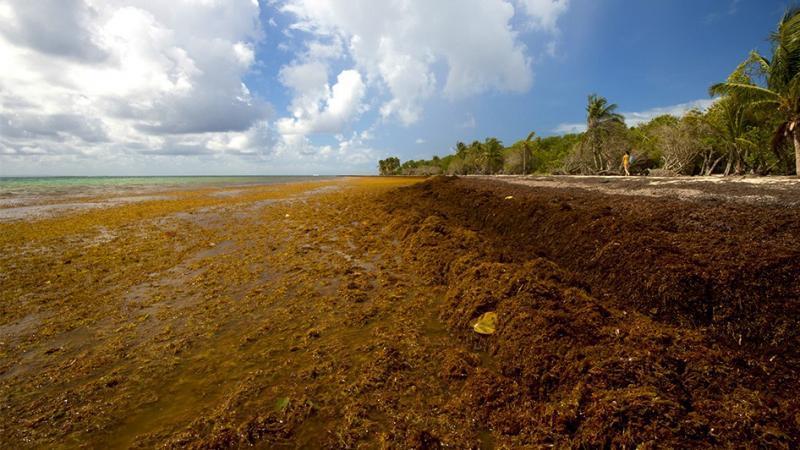 Les Antilles démunies face à l'invasion des sargasses