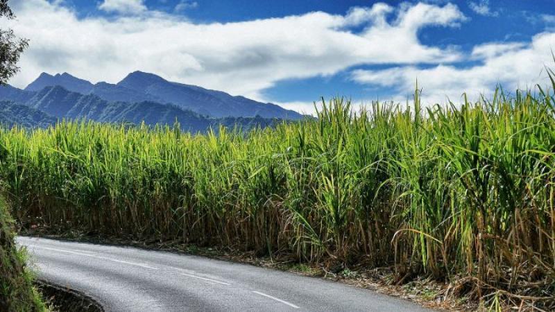 L'île Maurice abandonne le pétrole pour produire son électricité avec de la canne à sucre
