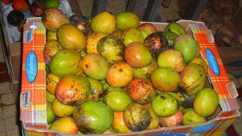 Mi sézon mango-basiyak rivé, manmay-la !