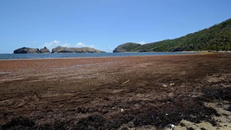 Aux Antilles, Les Saintes ont aussi leurs algues toxiques