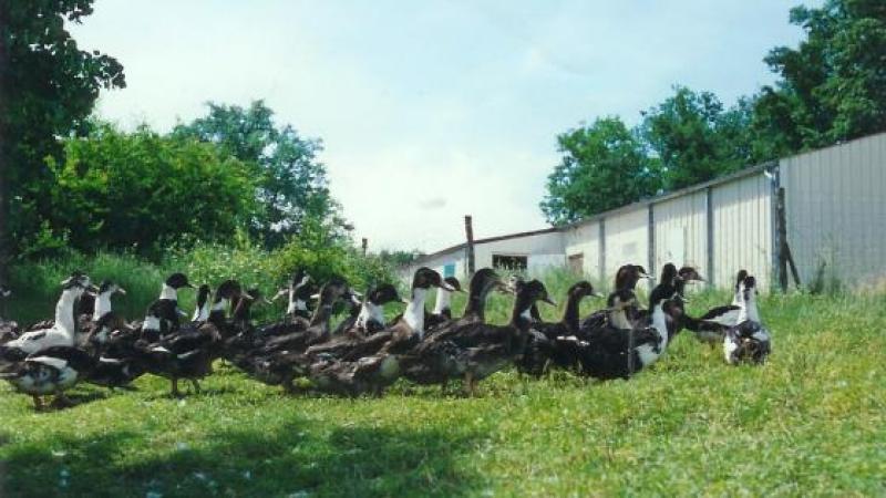 Contamination de canards fermiers par la chordecone