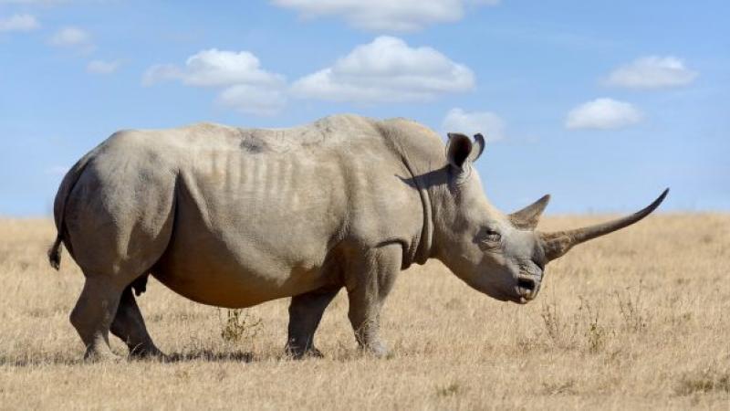 Avec leurs cornes radioactives, les rhinocéros d'Afrique du Sud ne craignent plus les braconniers