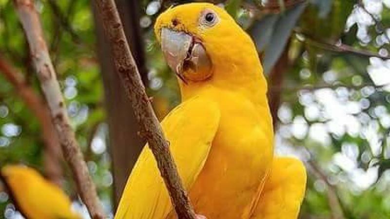 Le scandale Yellow Parrot va-t-il enfin éclater ?