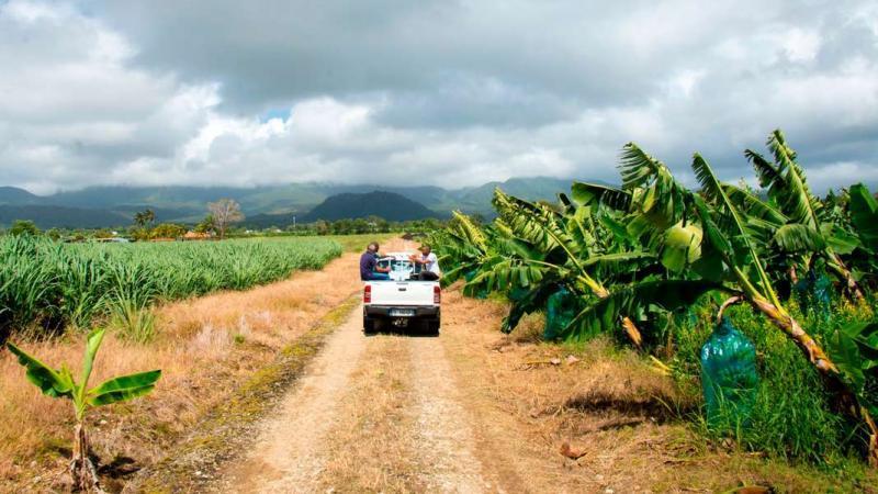 Chlordécone : les limites autorisées dans les aliments attaquées devant la justice