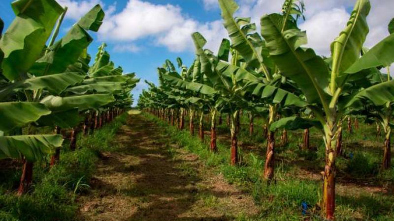 Scandale du chlordécone aux Antilles : « L'Etat a fait en sorte d'en dire le moins possible »