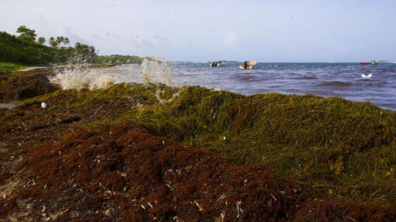 Qu'est-ce que les sargasses, un fléau de retour aux Antilles ?