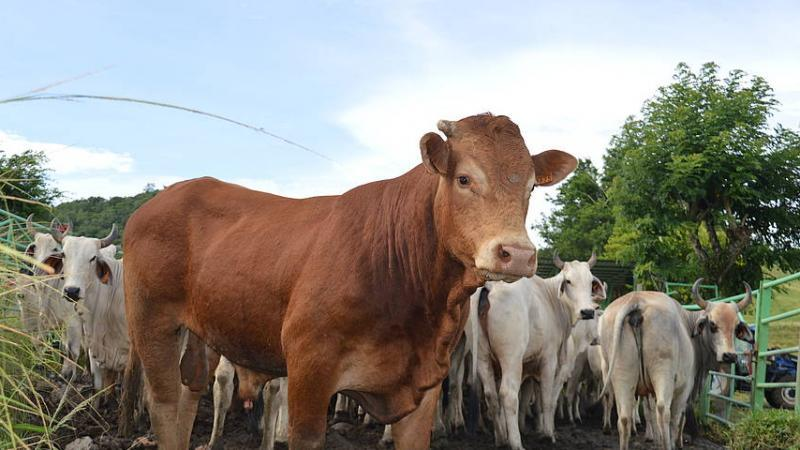 La filière bovine encornée ! (5è partie)