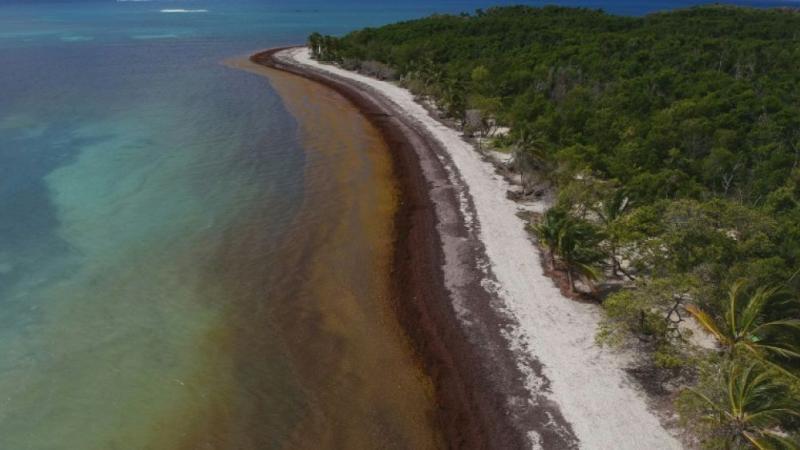 Plaie pour les Antilles, la sargasse est une aubaine pour d'autres