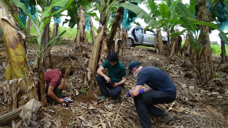 Comment le chlordécone ressuscite aux Antilles