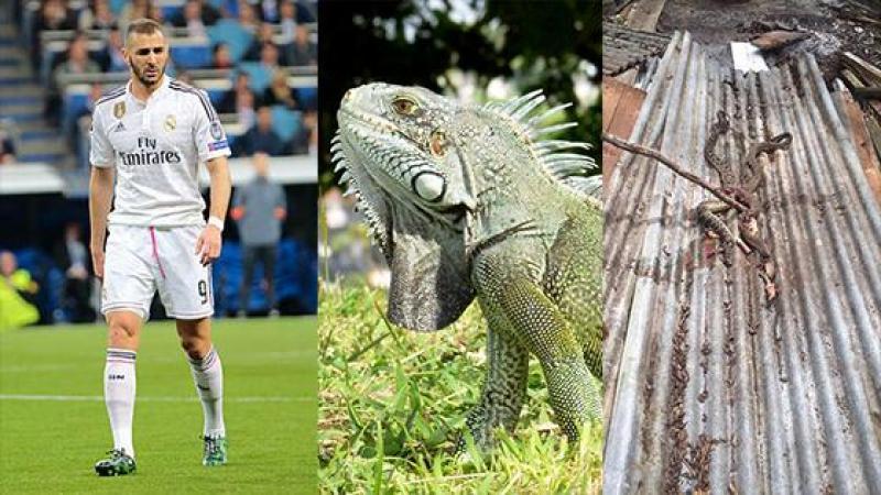 """Karim Benzema, l'Iguane et le gardien de l'environnement très """"pep-la"""""""